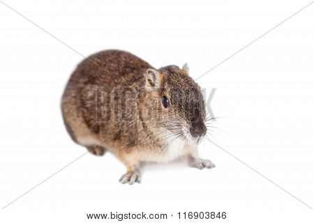 The rock cavy or moco, kerodon rupestris, on white