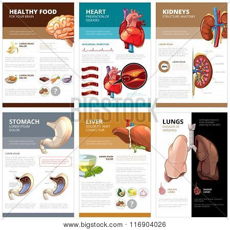 Internal human organs chart diagram infographic. Vector brochure template