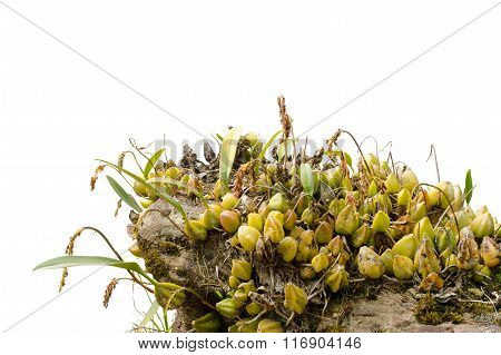 Bulbophyllum Morphologorum Growing On Stone Isolated On White Background