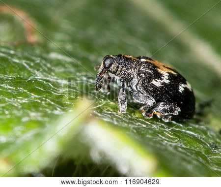 Tachyerges salicis leaf-mining weevil