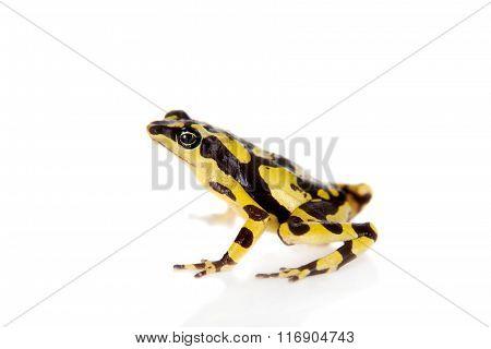 Amazons Harlequin Frog, Atelopus spumarius, on white