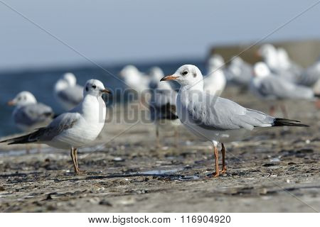 Many Slender-billed Gulls