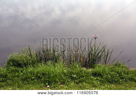 Green Reed And Grass On River Bank.