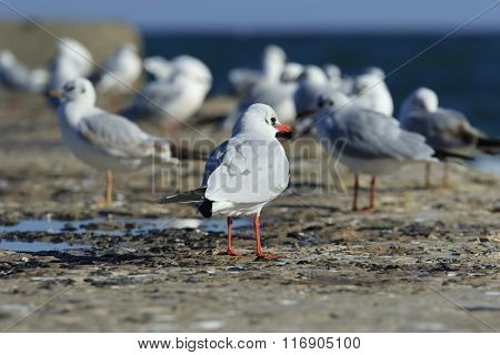 Stand Out Seagull