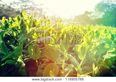 green pea plants in growth at garden