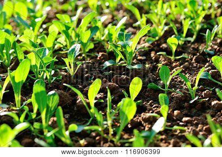 Green choysum in growth at vegetable garden