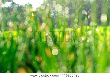 defocused green spring onion plants in growth at sunshine garden