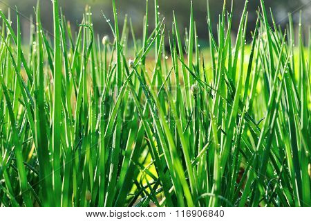 green spring onion plants in growth at garden