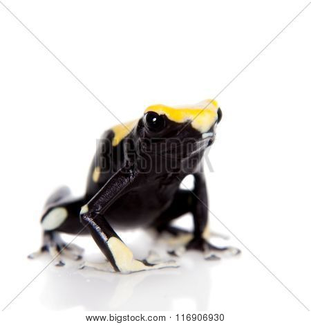 Yellow back dyeing poison dart frog, Dendrobates tinctorius, on white