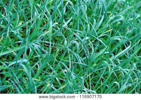 green garlic in growth at vegetable garden