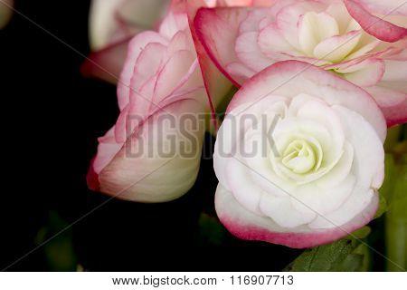 Pink Begonias On Black Background.