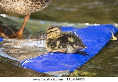 Mallard Ducklings Sitting On A Rock Covered In Rubbish