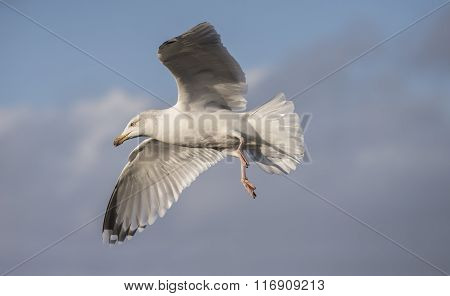 Herring Gull Flying Close Up In A Blue Cloudy Sky