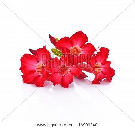 Azalea Flowers Isolated On White Background