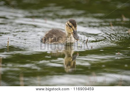 Mallard Duckling, Swimming In A Pond