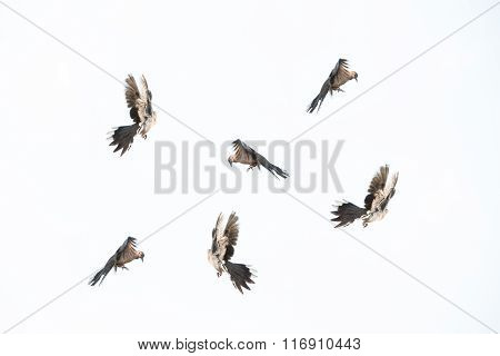 Flying Birds Isolated On White Background.
