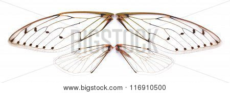 Insect Cicada On White Background