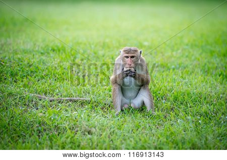 Toque Macaque Monkey In A Park In Sri Lanka