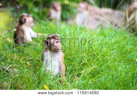 Toque Macaque Monkey Babies In Natural Habitat In Sri Lanka