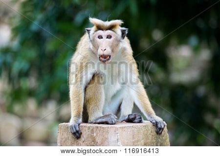 Angry Toque Macaque Monkey In Temple  In Sri Lanka