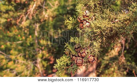 Branch of thuja tree with cones in the forest Hanita, Israel