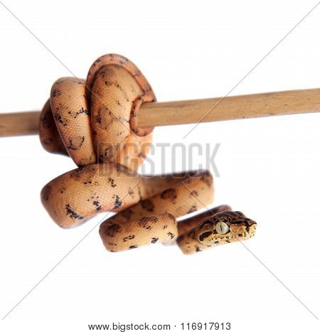 Red Amazon tree boa, 7 days old, isolated on white