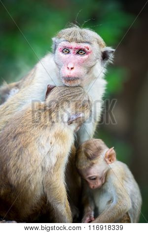 Female Toque Macaque Monkey With Babies In Natural Habitat In Sri Lanka
