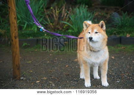 Akita Dog Or Akita Inu (hachi) At Park