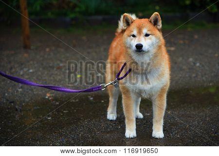 Akita Dog Or Akita Inu (hachi)