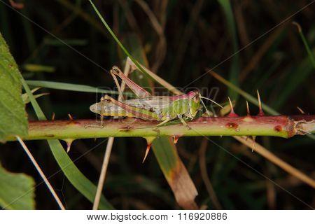 Field Grasshopper (chorthippus Parallelus)