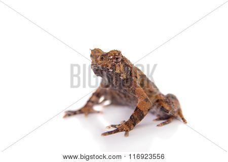 Bulldog frog, ophryophryne hansi, male on white