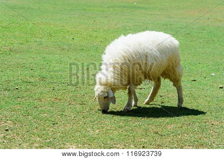 White Sheep And Lamp Eating Grass In Countryside Farm