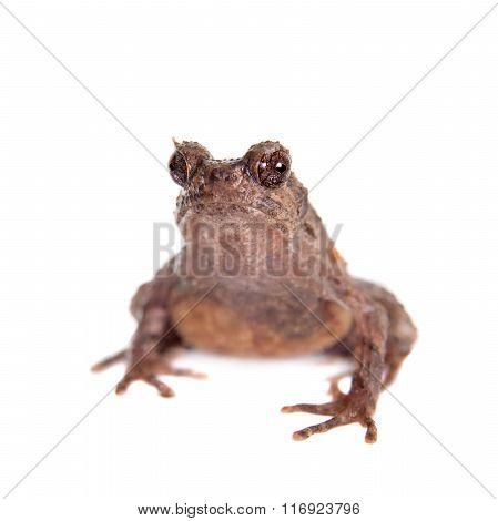 Bulldog frog, ophryophryne hansi, female on white