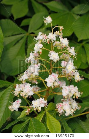 Chestnut Blossoms (castanea Sativa)