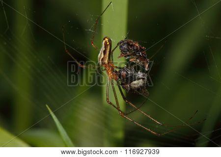 Orb-weaver Spider (araneidae)