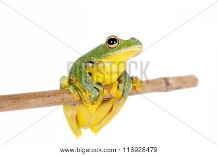 Black-webbed flying tree frog isolated on white