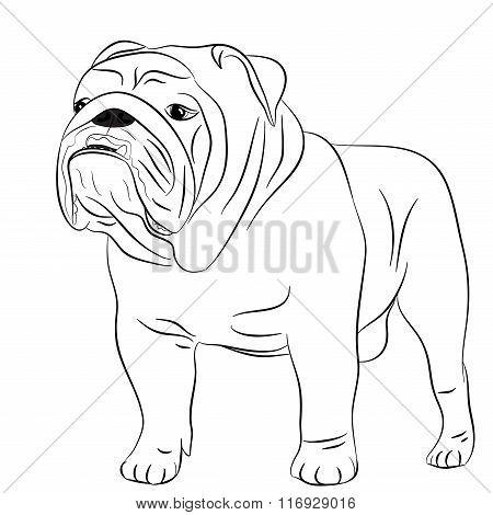 Dog English bulldog full length