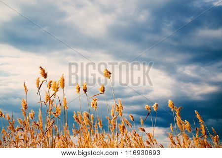 Sedge on a background of sky