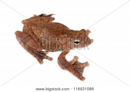 Annam flying frog, Rhacophorus annamensis, on white