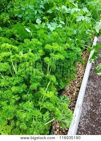 Curly And Italian Parsley Growing In Pots