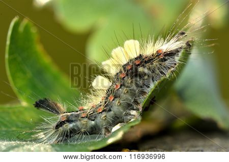 Vapourer moth (Orgyia antiqua) caterpillar
