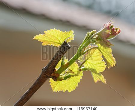 Close-up New Young Leaves Of Grape Plant.
