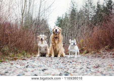 Three dogs: Yellow lab, golden retriever and French bulldog