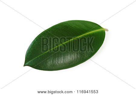 Leaf Ficus Elastica Closeup.