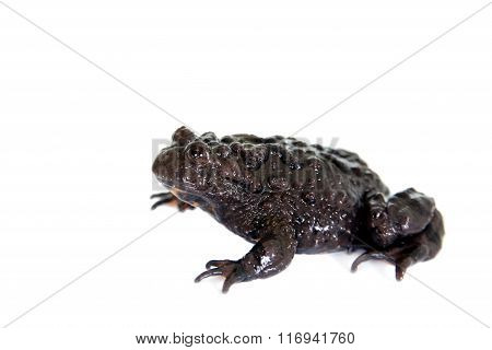 Hubei firebelly Toad, Bombina microdeladigitora, on white