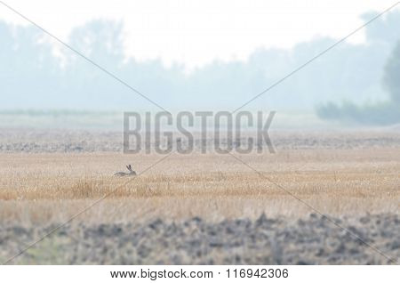 Wild Rabbit On plow Land