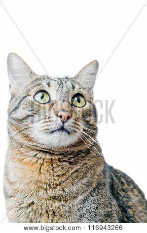 European Shorthair cat looking up