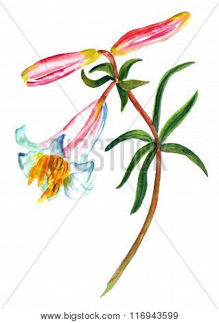 A watercolor drawing of a wild lily on white background