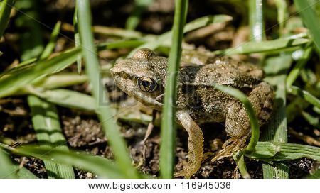 Little Green Frog On Meadow Land
