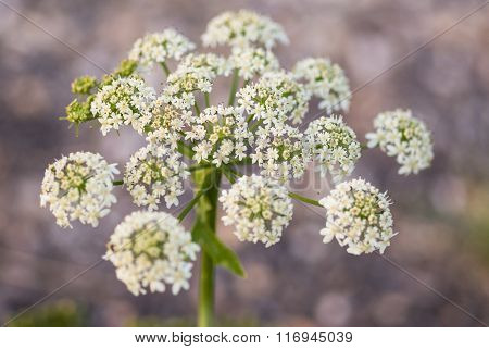 Cow Parsley, Anthriscus Sylvestris, With Diffused Background